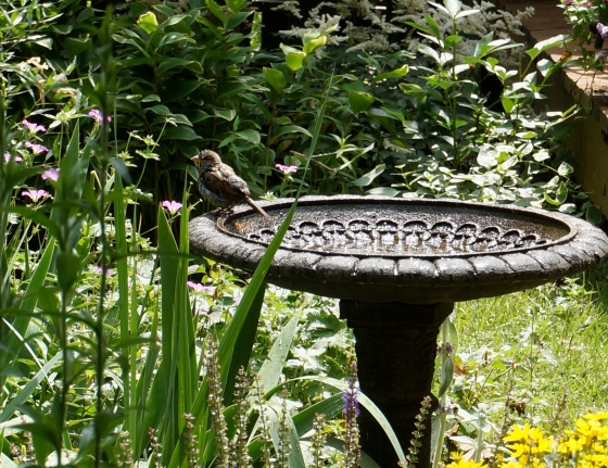 House Sparrow at bird bath