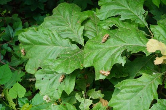 Cicada larvae exoskeletons