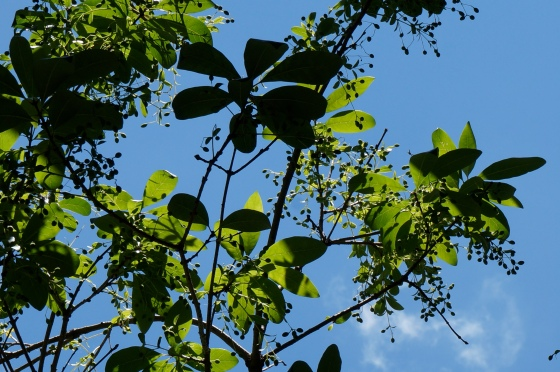 White Fringetree fruits
