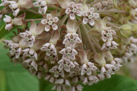 Common Milkweed flower