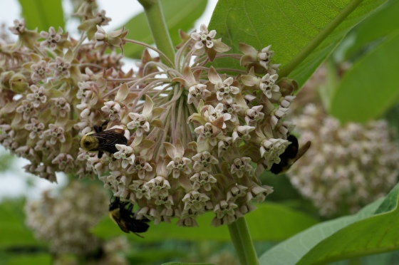 Bees on Common Milkweed
