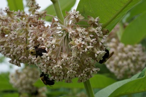Bees on Common Milkweed