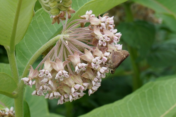 skipper on Common Milkweed