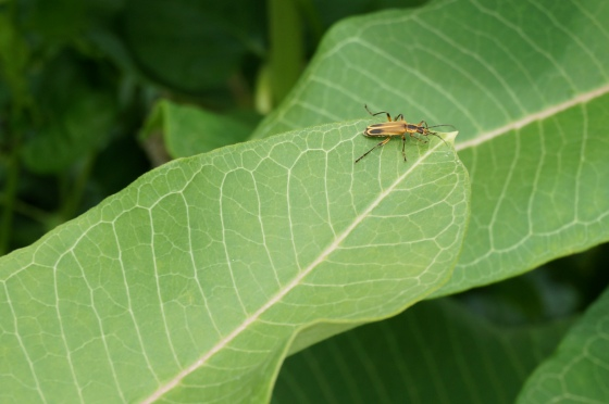 insect on a Milkweed leaf