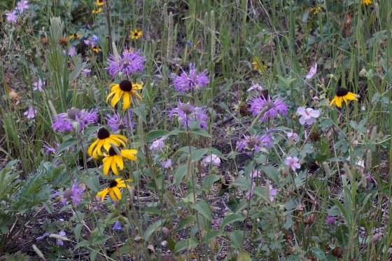 Black-eyed Susan and Monarda