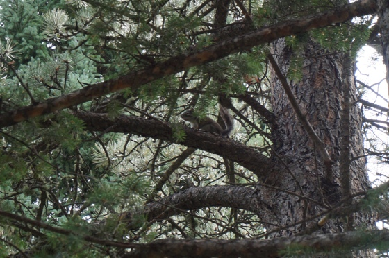 Pine Squirrel in spruce tree with Pine behind