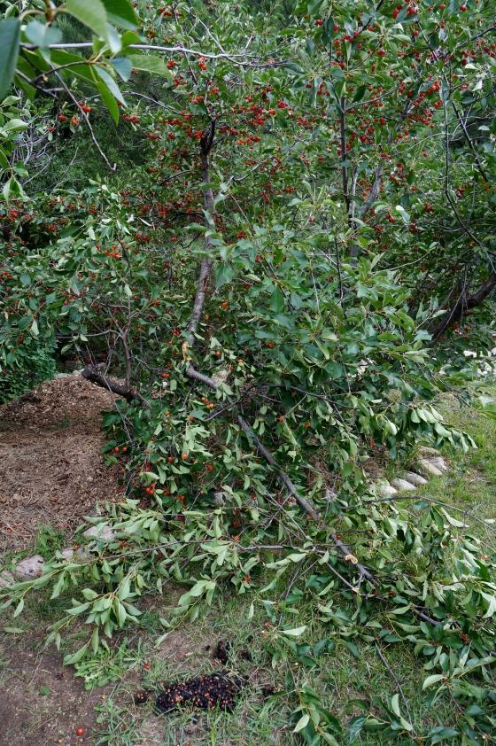 Broken Cherry tree