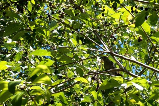 Gray Catbird eating White Fringetree fruits