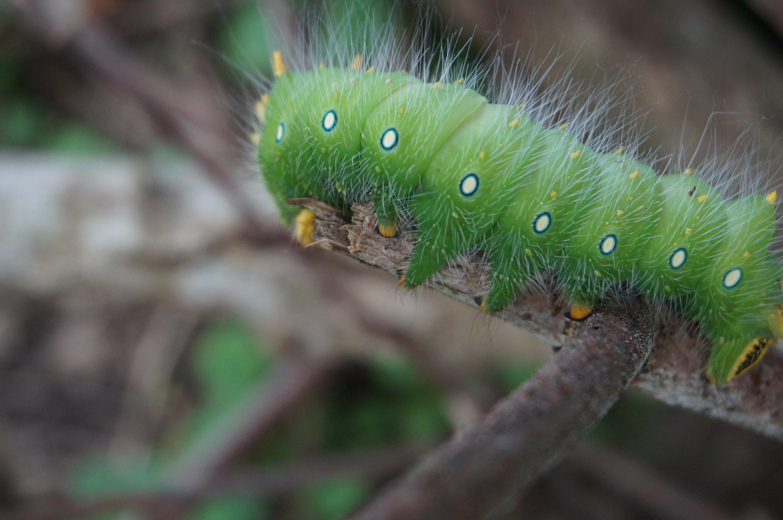 Большая зеленая гусеница фото