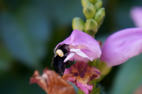 Bee in Pink Turtlehead