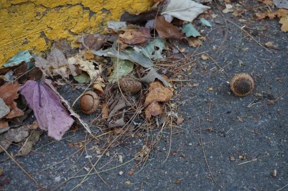 roadside treasure: acorns