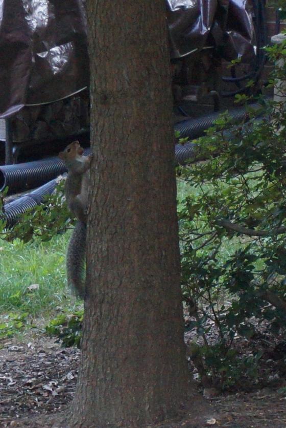 gathering acorns