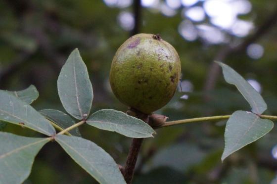Mockernut Hickory nut