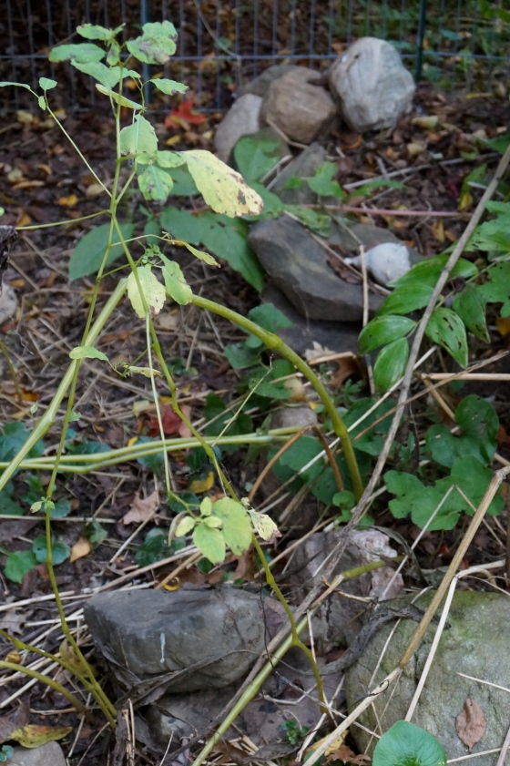 Jewelweed dying out
