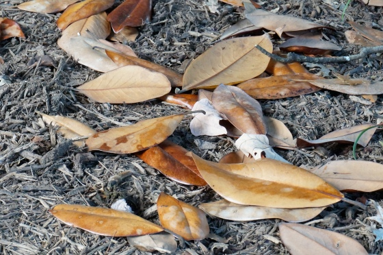 leaves of the Southern Magnolia