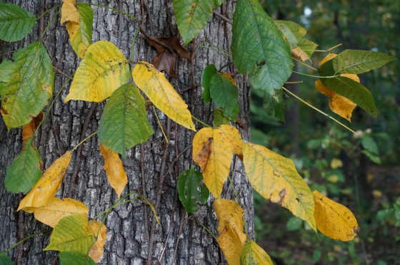 Poison Ivy in fall color