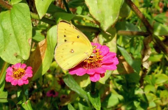 Sulphur Butterfly
