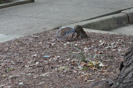Nutmeg searching for acorns