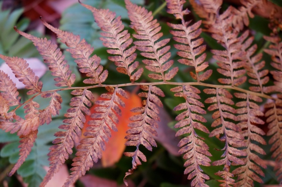 Wood Fern in fall color