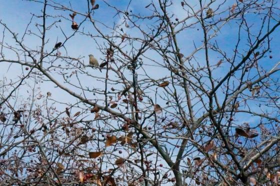 Cedar Waxwing in Hawthorn