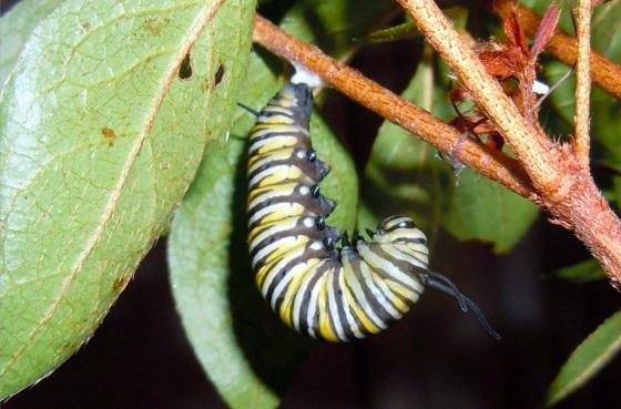 Monarch caterpillar Oct 15 2013