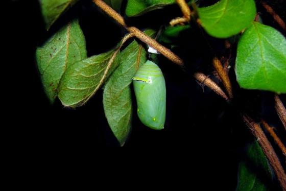 Monarch caterpillar Oct 16 2013