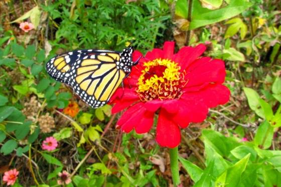 Monarch Oct 30 2013 b
