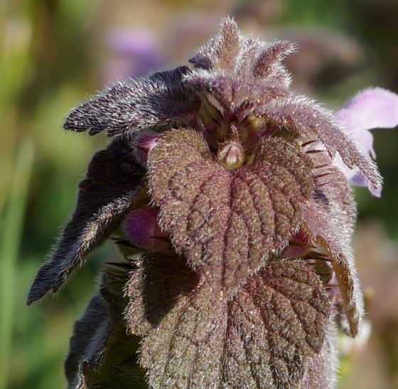 fuzzy leaves of Purple Dead Nettle