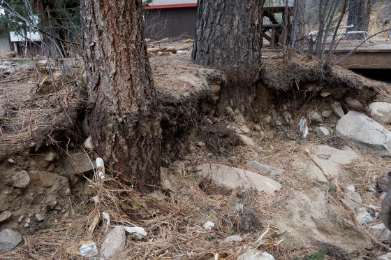 Pine tree trunks uncovered by flood waters