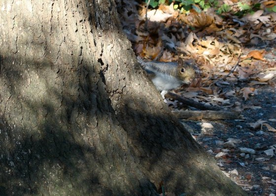 Eastern Gray Squirrel peeking