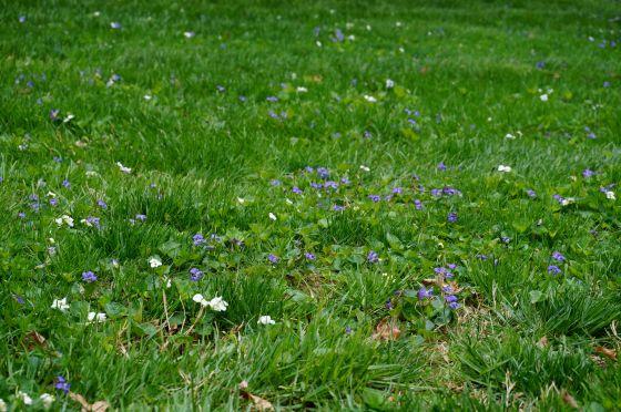 violets in grass