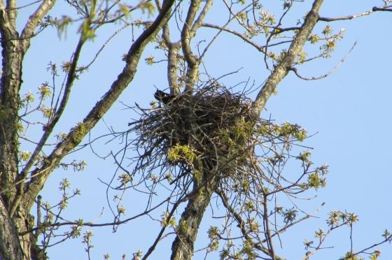 American Crow Nest