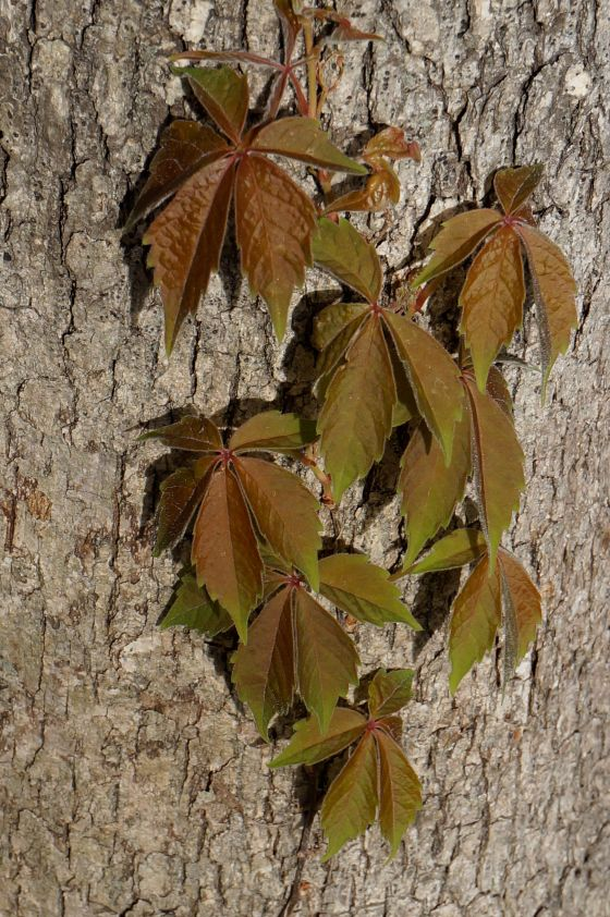 Virginia Creeper new leaf color