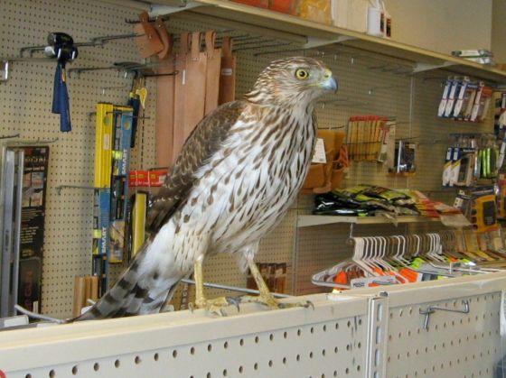 Cooper's Hawk