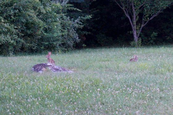 cottontails in clover