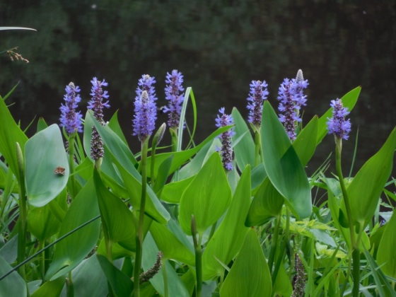 Pickerelweed