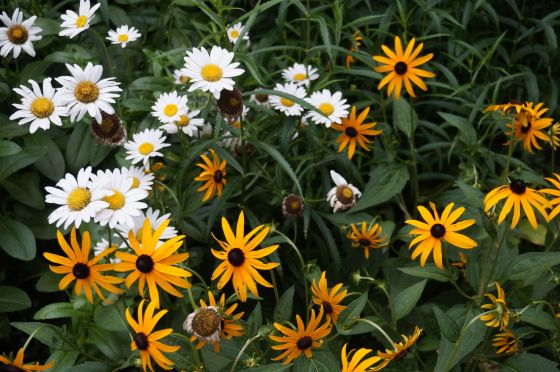 Shasta Daisys and Black-eyed Susans