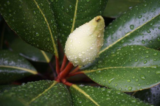 Southern Magnolia Blossum