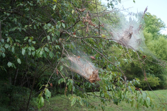 Fall webworm webbing on tips of branches