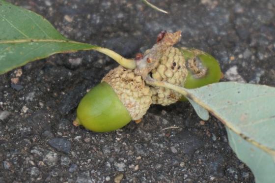White Oak acorns