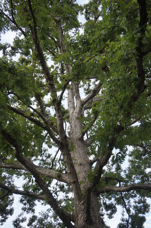 Quercus alba the squirrel nutwork