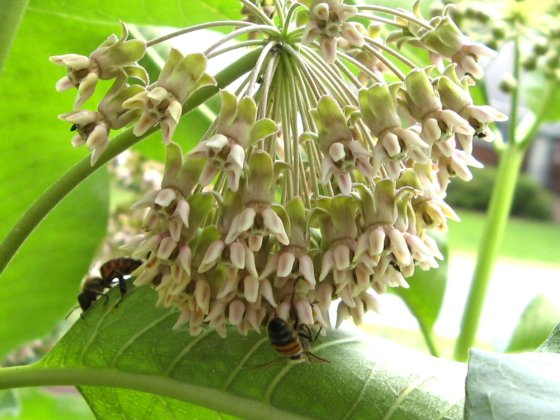 Honey Bees on Milkweed