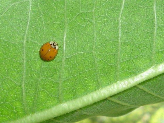 Ladybug on Milkweed