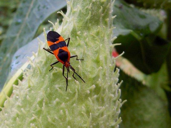 Net Beetle Calopteron