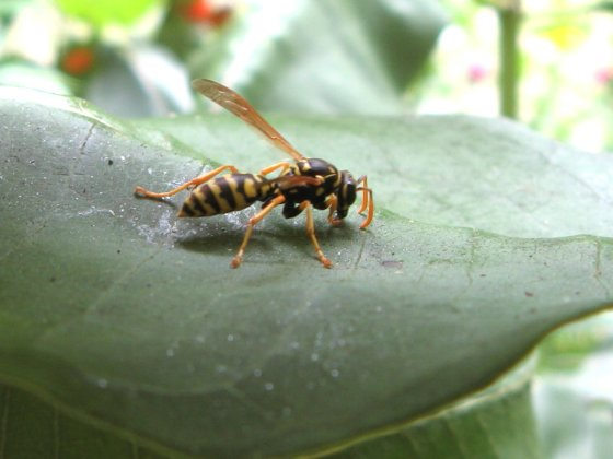 Wasp on Milkweed