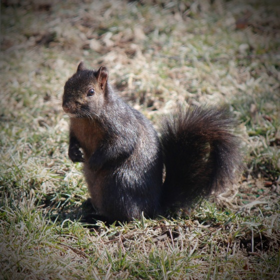 Black Eastern Gray Squirrel