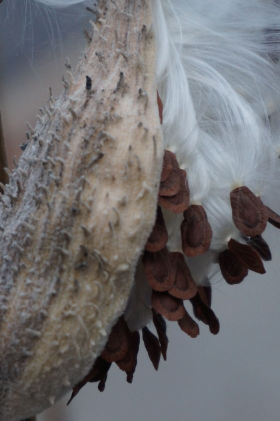 Common Milkweed Seedpod
