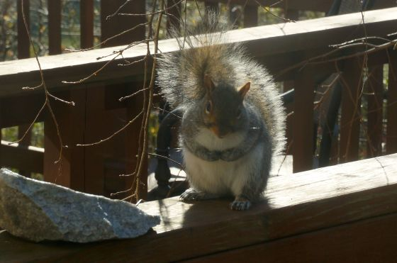 Eastern Gray Squirrel in winter
