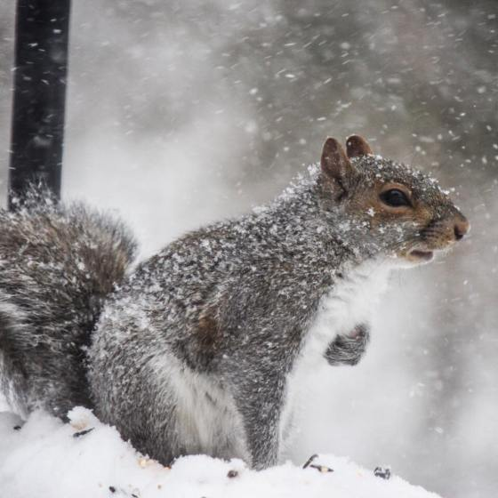Eastern Gray Squirrel in snow