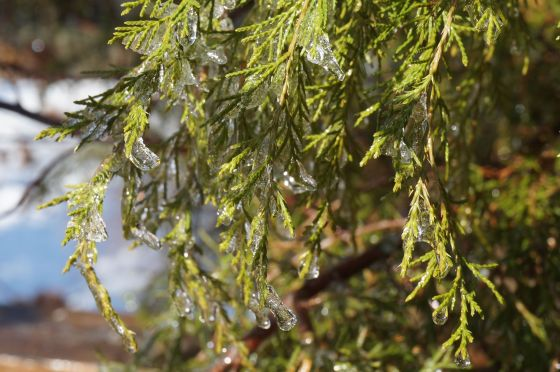 ice on Eastern Red Cedar